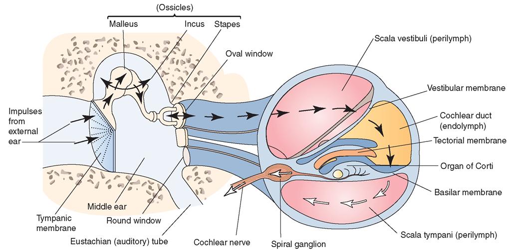 In fluid erwachsenenbildung der ear middle